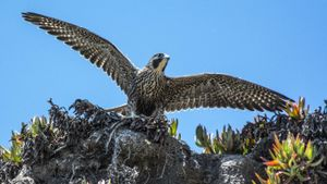 Where Do Peregrine Falcons Live?