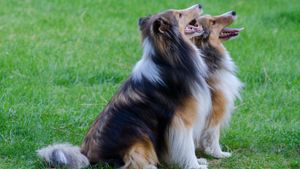 What Is the Personality of a Sheltie?