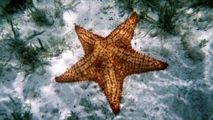 What Phylum Does a Starfish Belong To?