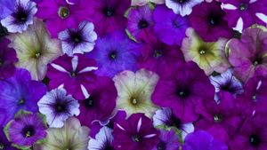 Where do you pinch back petunias?