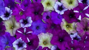 Where do you pinch off scraggly petunias?