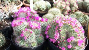 What Is a Pincushion Cactus?
