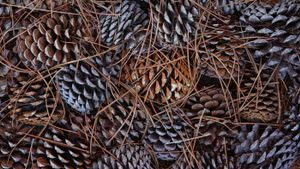 When Do Pine Trees Drop Pine Cones?