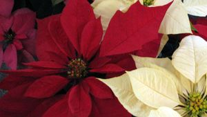 Where Does the Poinsettia Originate?
