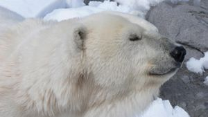 Why do polar bears live in the Arctic?