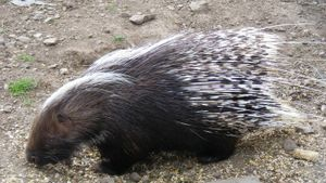 Do porcupine quills grow back?