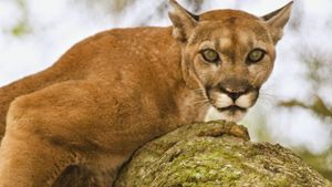 Where Do Pumas Live?