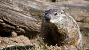 How Often Is Punxsutawney Phil Correct?