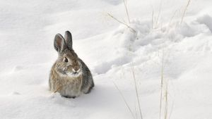 Do Rabbits Hibernate in the Winter?