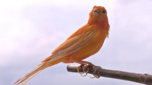 What Is a Red Factor Canary?