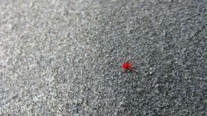 Do Red Spider Mites Bite Humans?