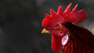 What Is the Red Thing on a Rooster's Head Called?