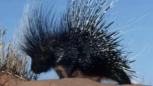How Do You Remove Porcupine Quills From a Dog?
