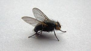 How do you get rid of big flies in your house?