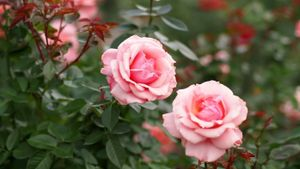How Do Roses Reproduce?
