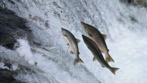 Why Do Salmon Swim Upstream?