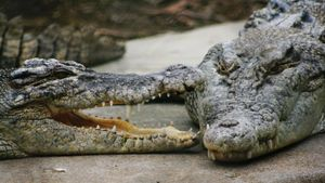 What do saltwater crocodiles eat?