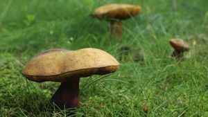 What Is the Scientific Classification of Mushrooms?