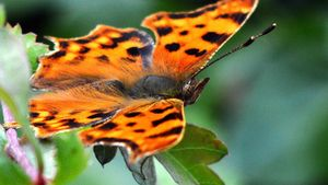 What Is the Scientific Name for a Butterfly?