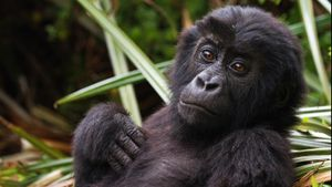 What Is the Scientific Name of the Gorilla?