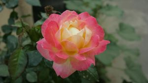 What Is the Scientific Name for a Rose?