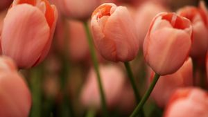 What Is the Scientific Name for Tulip?