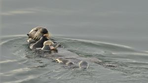 Why Are Sea Otters Endangered?