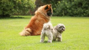 Do Shih Tzus Get Along With Other Dogs?