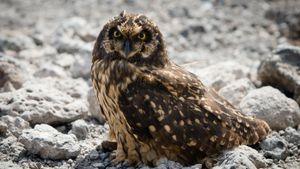 Why Are Short-Eared Owls Endangered?