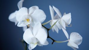 Why Should You Water Orchids With Ice?