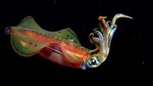 What do small squid eat?