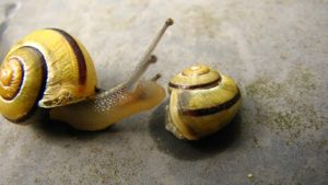 How do snails reproduce?