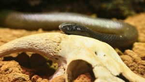 Which snake has the most toxic venom in the world?