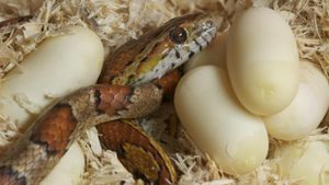 How Do Snakes Lay Eggs?