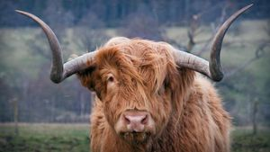 What Sound Does a Bull Make?
