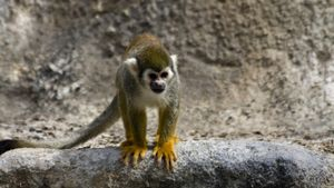 Do Spider Monkeys Make Good Pets?