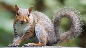 Why Do Squirrels Twitch Their Tails?