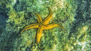 Are starfish considered to be endangered?