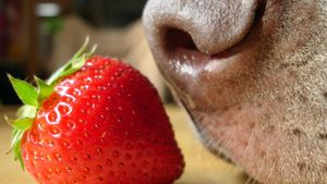 Are Strawberries Bad for Dogs?