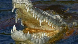 How Strong Are Crocodile Jaws?