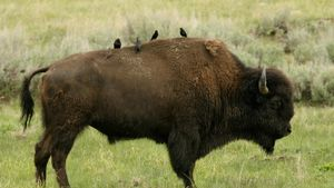 What is the symbiosis between a cowbird and bison?