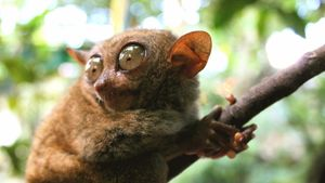 What Are the Predators of Tarsiers?