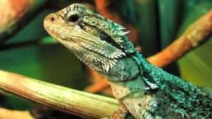 How do you teach a bearded dragon to do tricks?