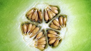 How do you tell if a honeydew melon is ripe?