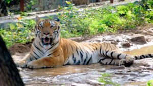 Why Are Tigers Camouflage Animals?