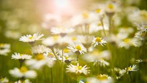 When Is the Best Time to Plant Daisies?