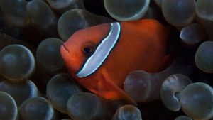 What Is a Tomato Clownfish?