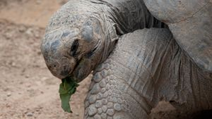 What do tortoises eat?