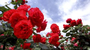 How do you know when to trim rose bushes?