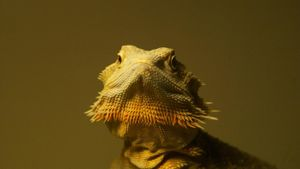 What type of behavior does a bearded dragon display?